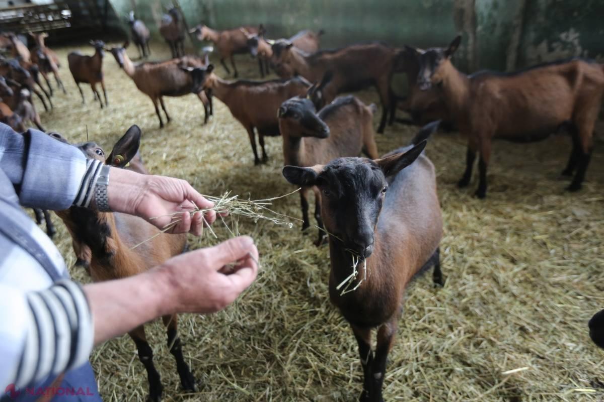 care este viziunea unei capre)